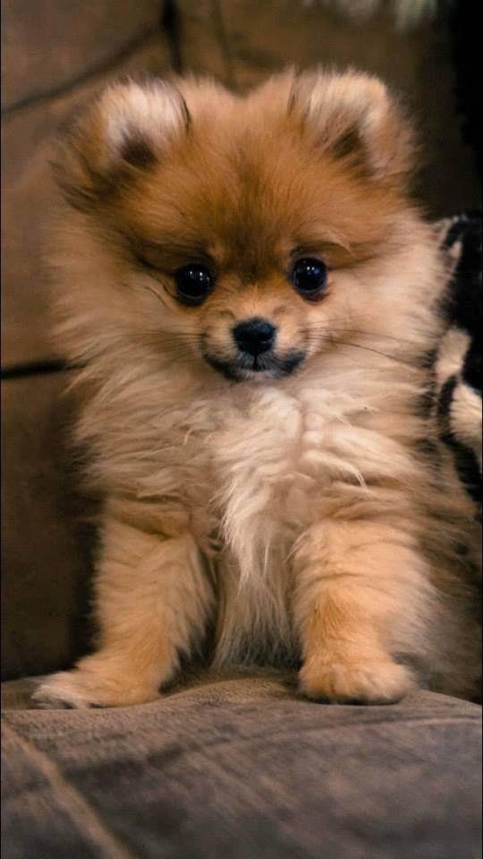 Zuri, Poomeranian puppy, belongs to my friend <3