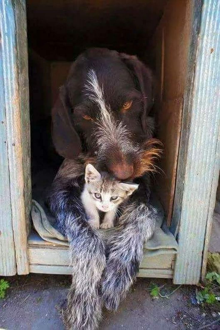 Wirehair and kitten so cute