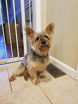 Pictures of Ross a Yorkie, Yorkshire Terrier for adoption in