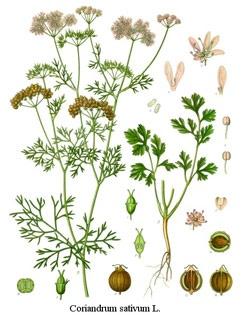 cilantro/coriander { site has clear info about growing herbs}