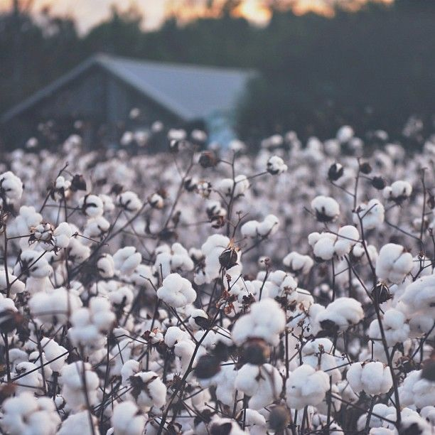 Growing up in Georgia, my grandmother always had cotton plants. To me, they were magical, & to this day when I see Cotten fields, I am stirred with happy memories