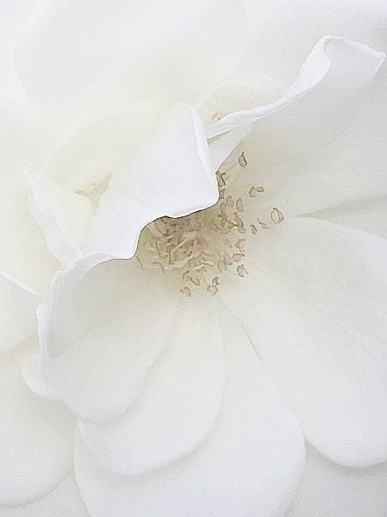 "nature-and-culture: ""White rose in Holland Photography nature-and-culture """