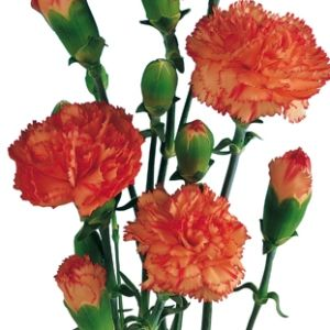 FiftyFlowers.com - Orange Mini Carnation Flowers