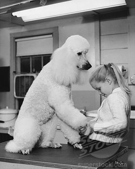 SuperStock - Girl trimming the nails of a French Poodle