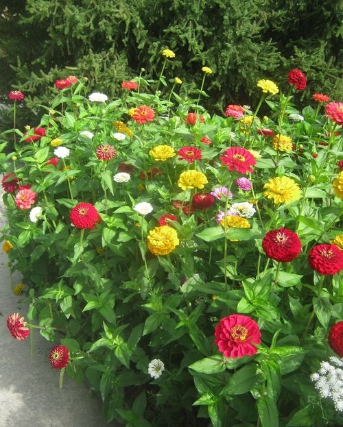 Zinnias - grows up to 4 feet tall and boasts flowers up to 5 inches across in just about every color except blue. The blooms make great cut flowers -- the more you cut, the more you'll get - and butterflies love them.
