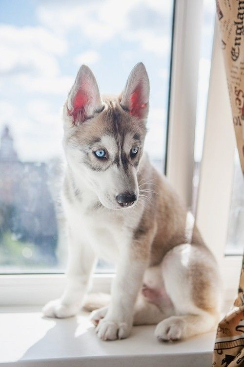 I love Huskies!!! Very smart but also very stubborn!!