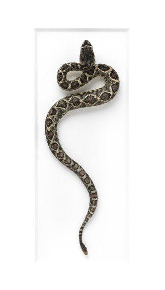 16×20 Diamondback Rattlesnake | Pheromone Gallery – Insect Art