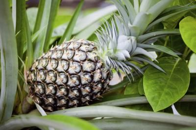 How to Grow Pineapple Top in a Pot