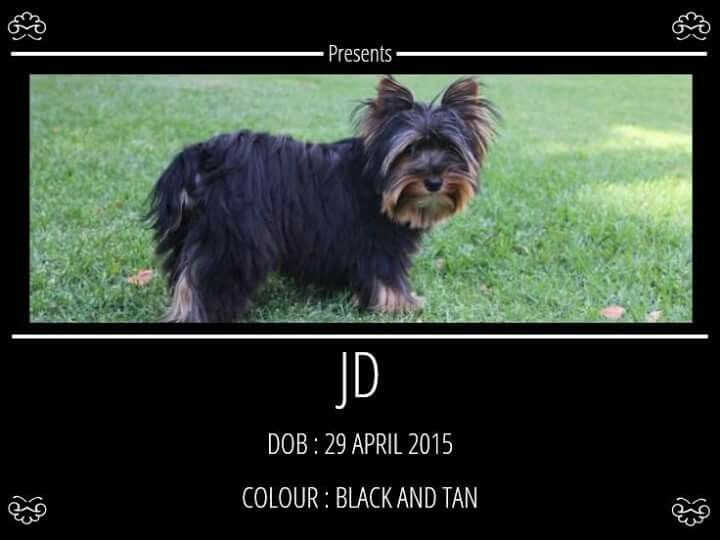 Traditional Black and Tan Male Available