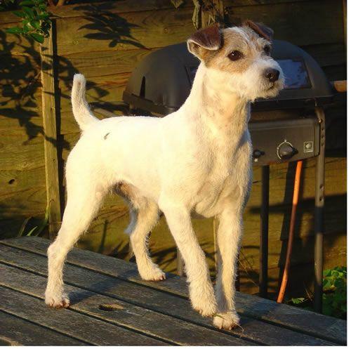 Le Parson Russell Terrier 93b2a4f99a88ff62b8501d2aa2c9a4ac