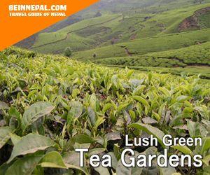 lush green tea gardens