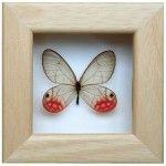 kelebek koleksiyonu gercek kelebeklerden cercevelenmis kirmizi siyah mavi kahve renklerde (5)