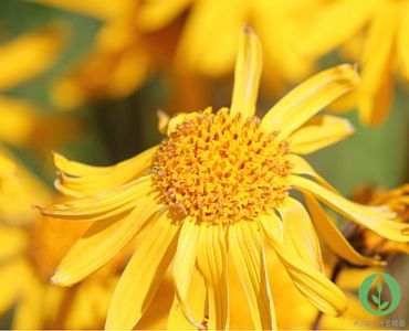 How Does Arnica really Work? Supporting traditional use externally on the skin for sprains, bruises, injuries and painful swellings, clinical trials have shown specifically that Arnica is effective for so many things
