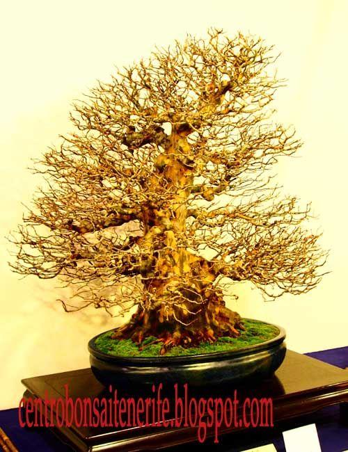 http://centrobonsaitenerife.blogspot.com/2016/02/ganadores-kokufu-bonsai-ten-2016-parte_8.html