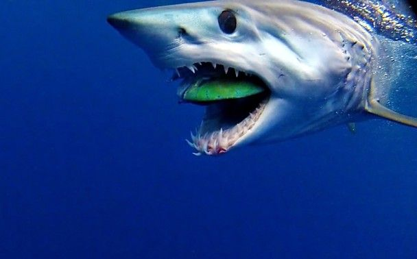 Mako Shark eating a dolphin fish | Shark! | Pinterest ...