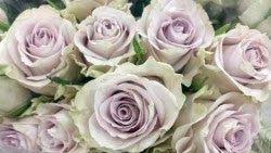 Silverado   Klassisk ''old fashion'' rose med litt grått i seg