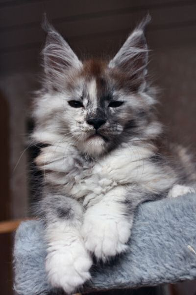9 Most Loving Cat Breeds http://www.mainecoonguide.com/what-is-the-average-maine-coon-lifespan/