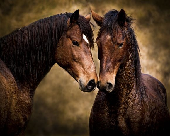 Kaimanawa Horses. The Kaimanawa Wild Horse is New Zealand's very own Heritage Horse living wild in the central North Island.  Argo Valley, Waiouru. - Photo by Jan Maree Vodanovich