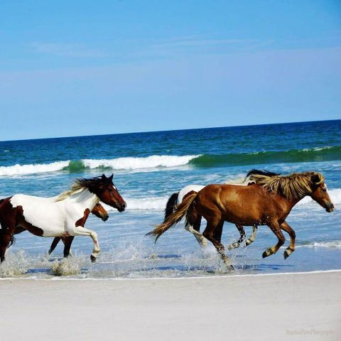 Assateague Island National Seashore and neighboring Assateague State Park are home to a free-roaming herd of about 90 wild horses. While kayaking or strolling the beaches, you'll catch the majestic animals napping on the shore and grazing in the salt marshes. (From $4)    RELATED: The 50 Most Romantic Weekend Getaways to Add to Your Travel List