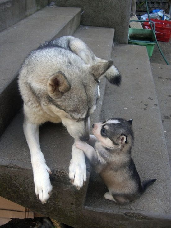 Mom, they called me husky!: Puppies, Dogs, Sweets, Pets, Husky, Adorable, Baby, Mom, Animal