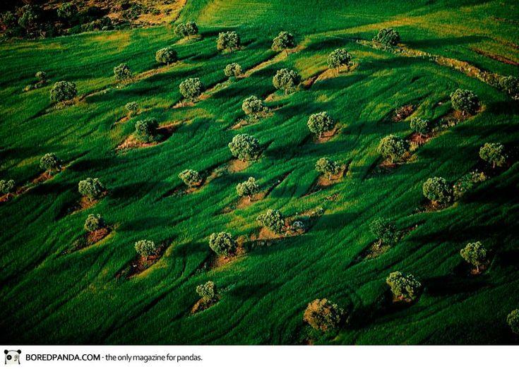 Orchard Among the Wheat, Macedonia, Greece