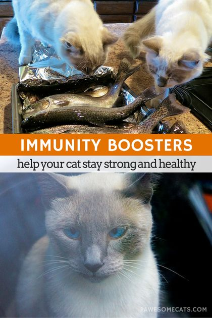 Sometimes you need to give your cat's immune system a helping hand - we discuss immunity boosters to help your cat build a strong immune system | Keeping Your Cat Healthy – Building a Strong Immune System