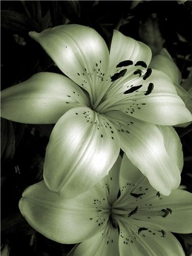 my favorite flower, the tiger lily that MUST be in my wedding