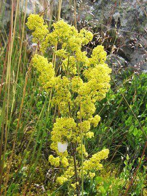 Tinktúra, kvapky (macerát) z byliny Lipkavec syridlový