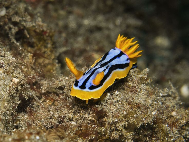 "Chromodoris hamiltoni. ""Jepun"", Padang bay. Photo by Olga Aya"