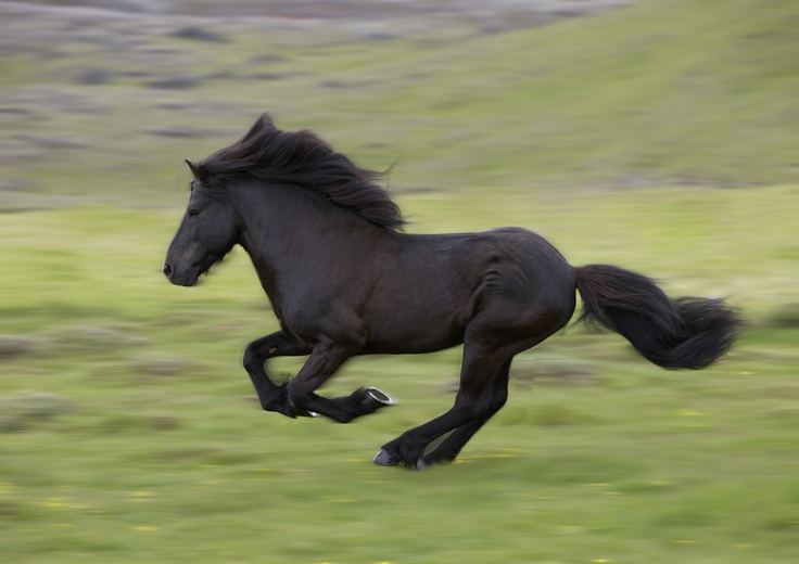 Iceland - these horses have not been bred with any others since the year 1,000.