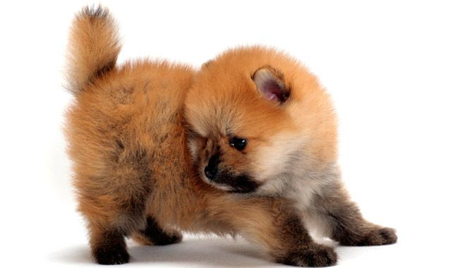 Pomeranians are suited to many types of homes because they are so compact and affectionate. Learn all about Pomeranian breeders, adoption health, grooming, training, and more.