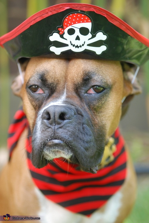 Pirate Dog - 2012 Halloween Costume Contest ARRRRRRRRR #piratedog #dogcostume