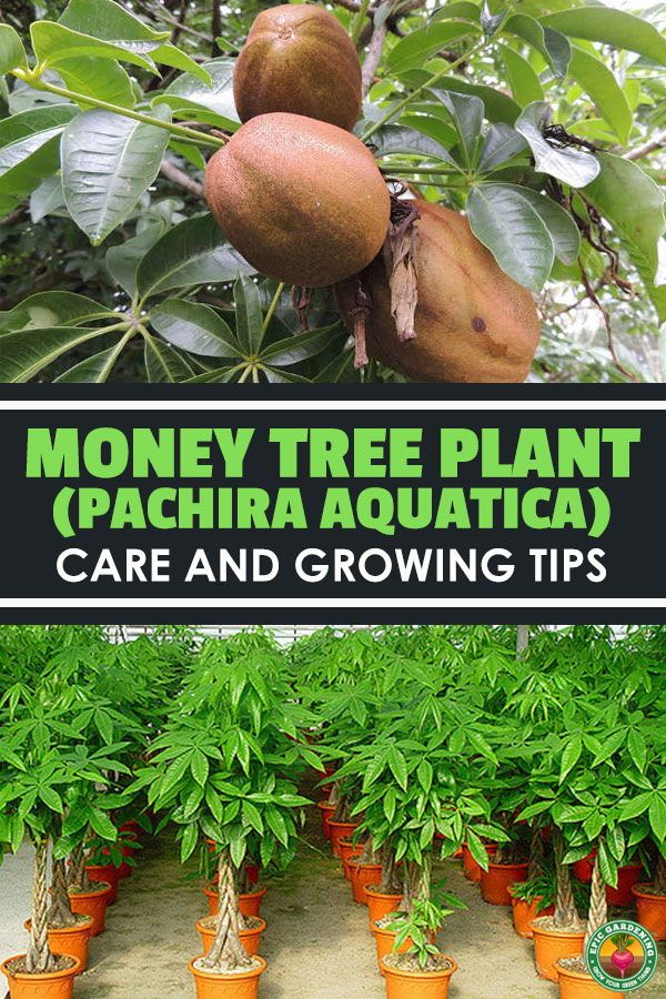 Money Tree Plant Is A Beautiful Indoors And Out Learn All The Tricks