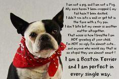 Northeast Boston Terrier Rescue: I'm a Perfect Boston Terrier