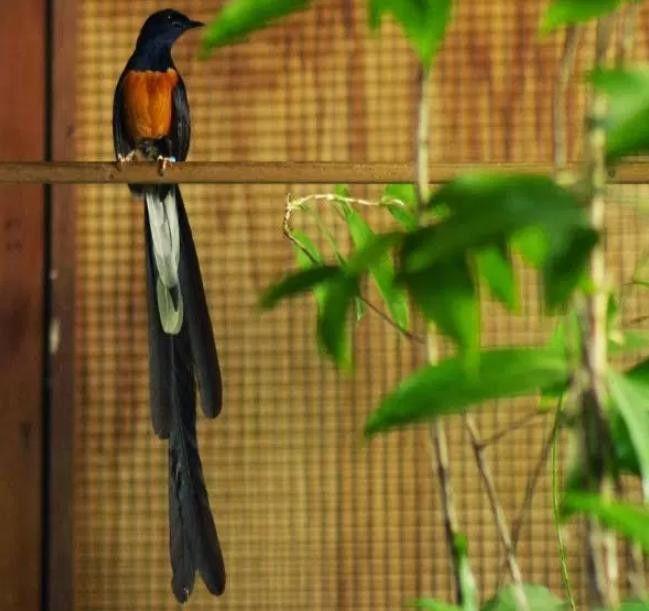 Tips Perawatan Murai Ekor Panjang Dan Hal Hal Yang Harus Di Hindari Murai Batu Murai Burung Cantik Burung