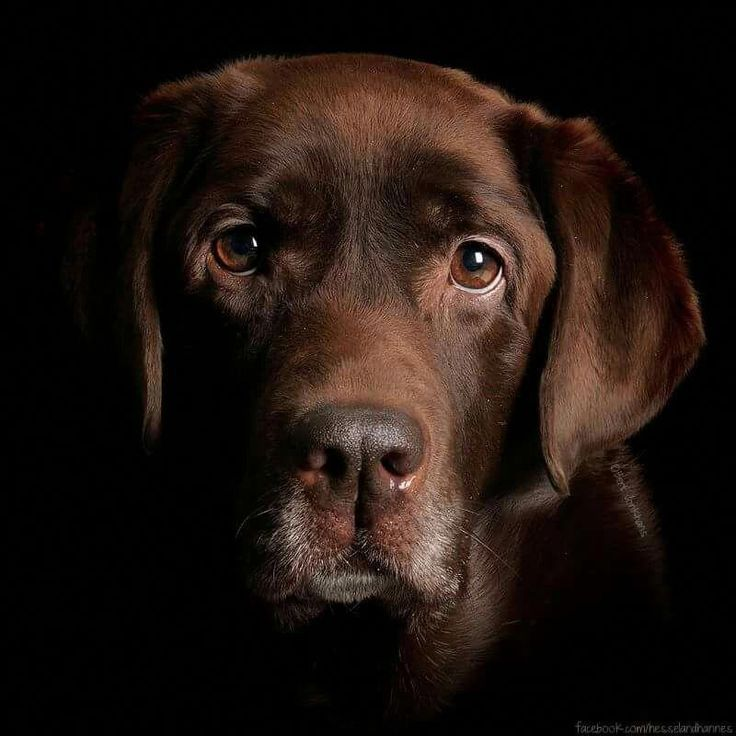 Labrador Retriever Intelligent And Fun Loving Niedliche Hunde Hunde Hundebilder