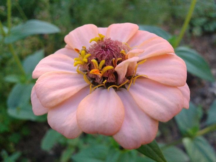 Flores da época – Zínias e Crisântemos