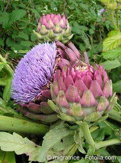 Blühende Artischocken sind im Garten auch ein Genuss fürs Auge.