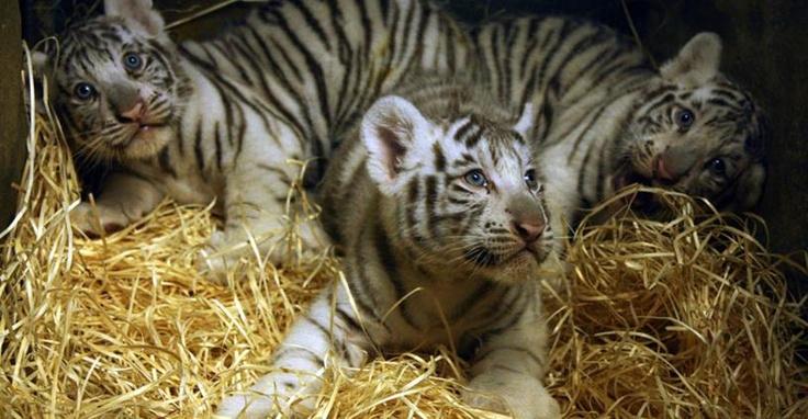 Nevet kapnak a fél-albínó tigriskölykök: Júliusban három fehér színű tigriskölyök született a Libereci Állatkertben. A különleges csemeték nevét több mint 2200 javaslatból választják ki a szeptember 8-ai rendezvényen.