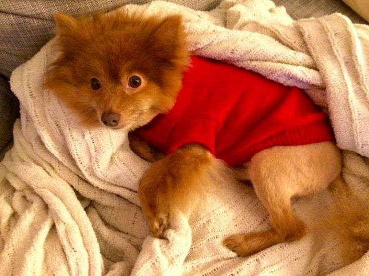 GARY is an adoptable Pomeranian searching for a forever family near Nyc, NY. Use Petfinder to find adoptable pets in your area.