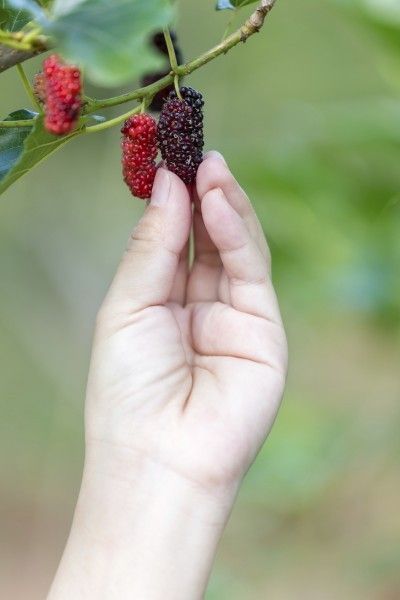 Mulberry Tree Harvest: Tips On How To Pick Mulberries - If you live in USDA zones 5-9, you can enjoy your very own mulberry tree harvest. The question is when to pick mulberries. This leads to a follow-up question of how to pick mulberries. Learn the answers to both questions in this article.