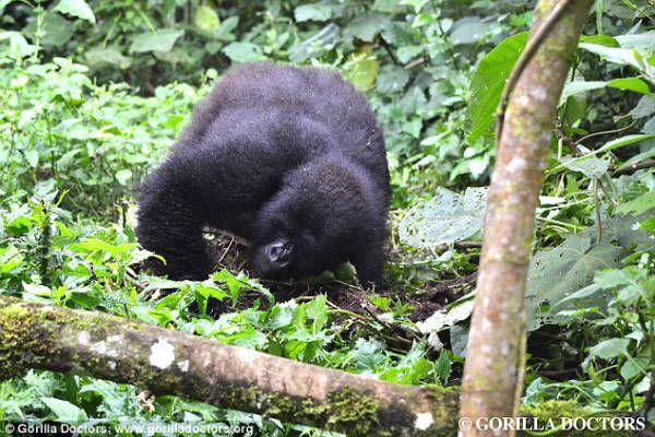 Дикая горилла применяет инструмент для еды