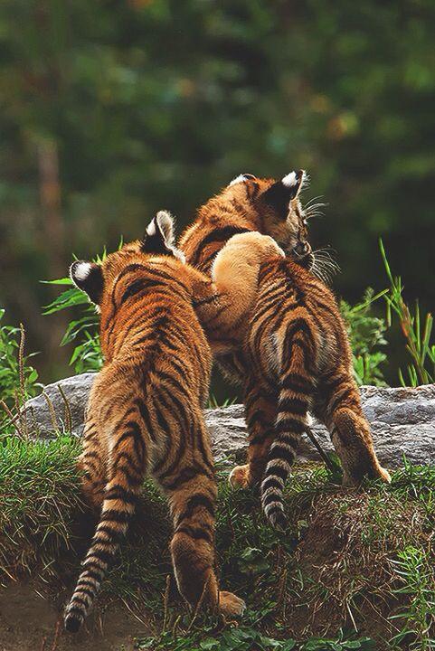 Baraszkujące tygrysiątka. <3