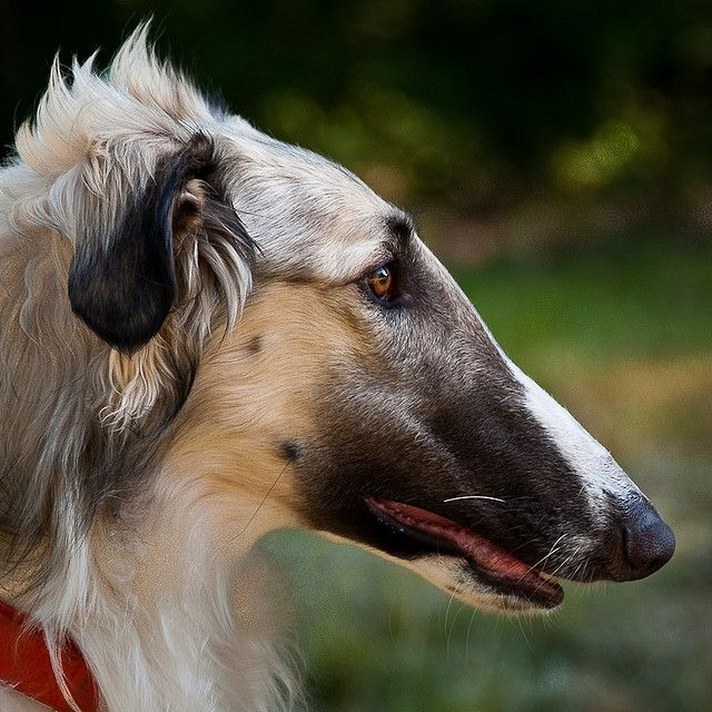 A Borzoi Dog 1000+ images ab...