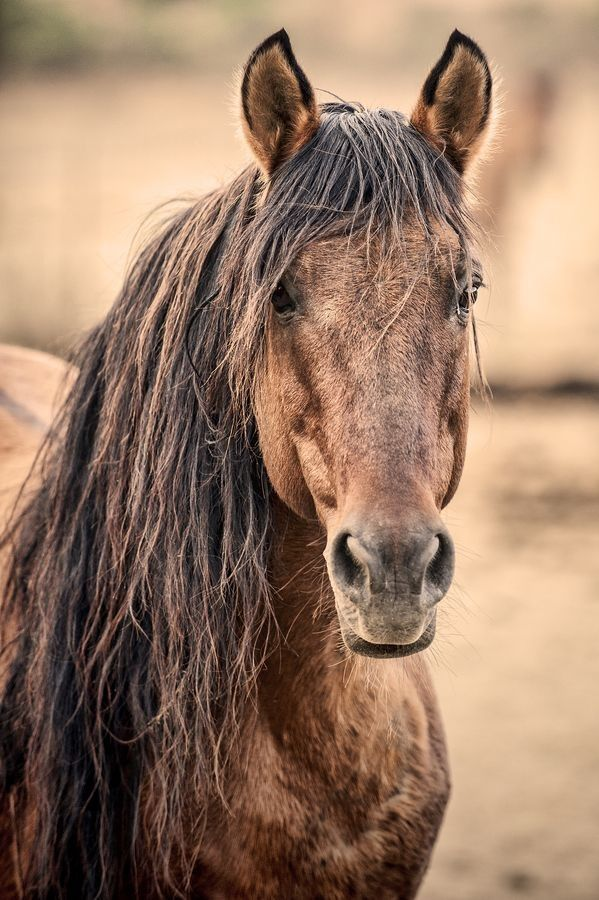 Chief Wild Stallion by Roy Bozarth* Long Manes Horses Learn about #HorseHealth #HorseColic http://www.loveyour.horse