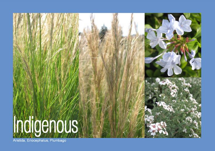 "These 3 plants are indigenous to South Africa and are wind tolerant: Aristida junciformis (""Gongoni Grass""), Eriocephalus africanus (""Kapokbossie"") and Plumbago auriculata (""Blousyselbos"")."