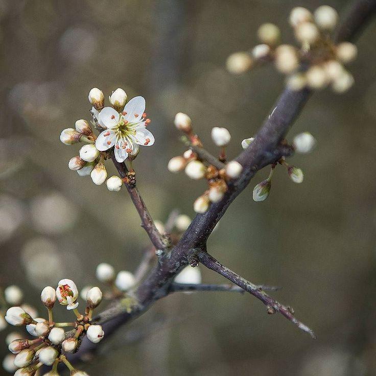 Blackthorn blossom. #cumbria #spring #lakedistrict