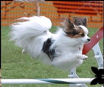 Papillon on Pinterest | Papillons, Papillon Dog and Papillon Puppies ...