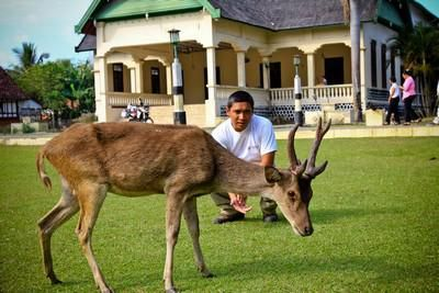 Friendly deer at Bima Palace, Sumbawa NTB....