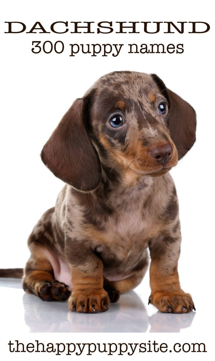 Dachshund Names 300 Ideas For Naming Your Wiener Dog Puppy